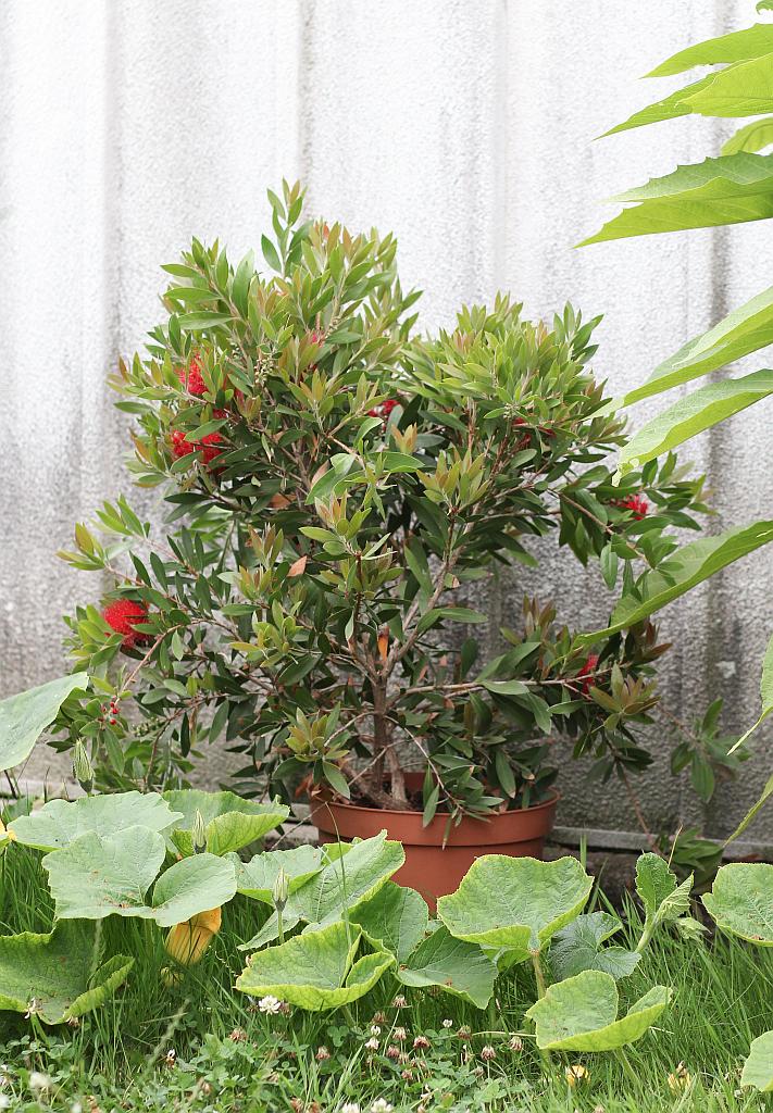 zylinderputzer callistemon citrinus pflege vermehrung majas pflanzenwelt. Black Bedroom Furniture Sets. Home Design Ideas