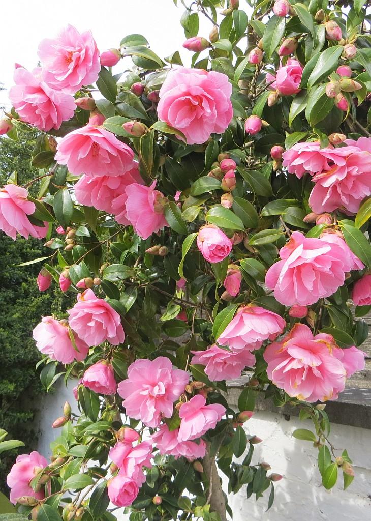 Kamelie Camellia Pflege Dungen Vermehrung Majas Pflanzenwelt