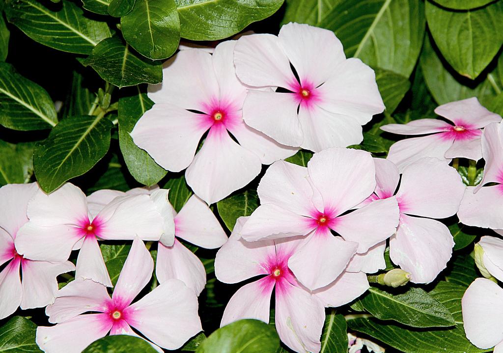 Lieblings Madagaskar-Immergrün (Catharanthus roseus) - Majas Pflanzenwelt @MZ_67