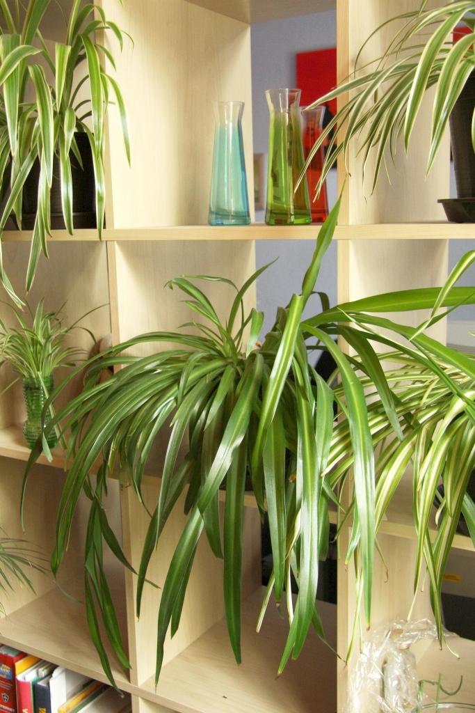 Geliebte Grünlilie (Chlorophytum comosum): Pflege & Vermehrung - Majas &HY_69