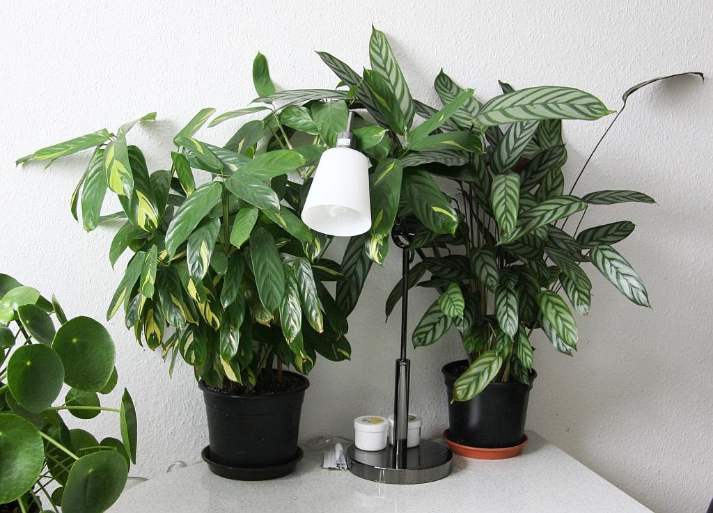 kamm marante ctenanthe pflege vermehrung majas pflanzenwelt. Black Bedroom Furniture Sets. Home Design Ideas