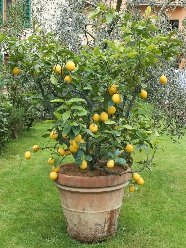 Super Zitrusbaum, Zitruspflanze (Citrus): Pflege, Überwintern &IB_03