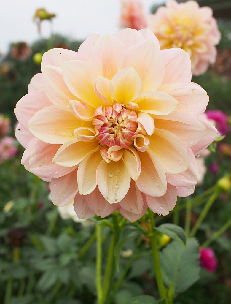 dahlie (dahlia): pflege & vermehrung - majas pflanzenwelt, Gartengerate ideen