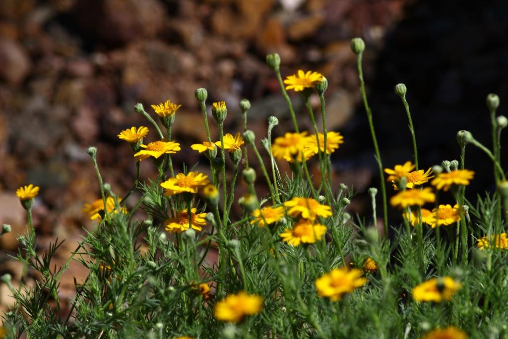 gelbes g nsebl mchen dyssodia pflege vermehrung majas pflanzenwelt. Black Bedroom Furniture Sets. Home Design Ideas
