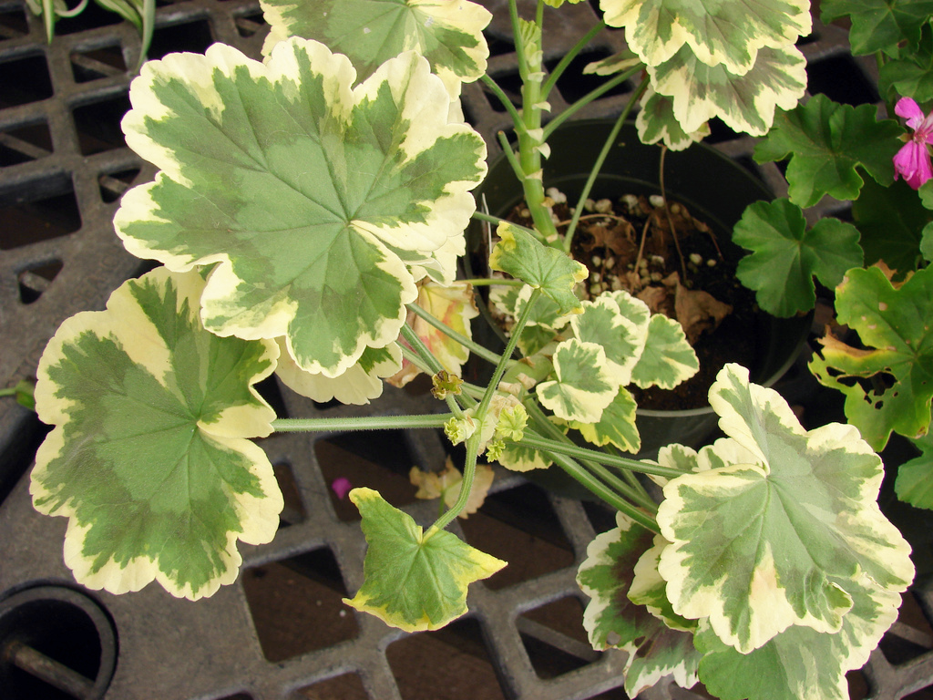 blattschmuck pelargonie pelargonium pflege vermehrung majas pflanzenwelt. Black Bedroom Furniture Sets. Home Design Ideas