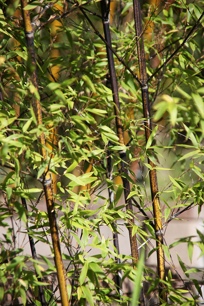 Bambus Phyllostachys Pflege Vermehrung Majas Pflanzenwelt