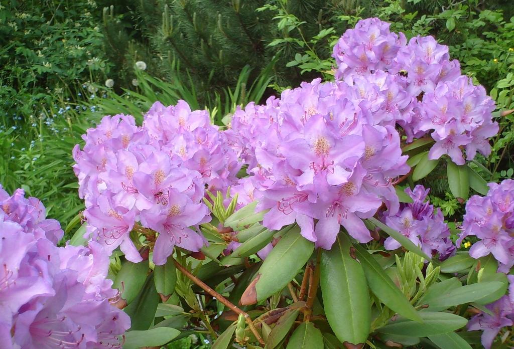 azalee rhododendron pflege beschneiden vermehrung. Black Bedroom Furniture Sets. Home Design Ideas