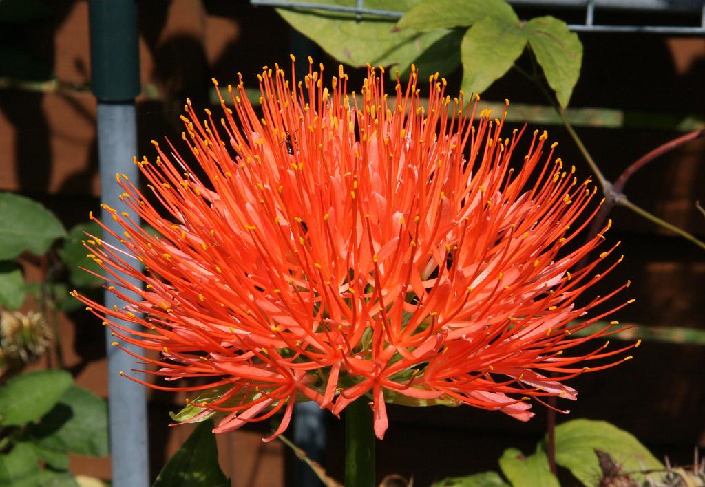 Super Blutblume (Scadoxus multiflorus): Pflege & Vermehrung - Majas @IJ_98