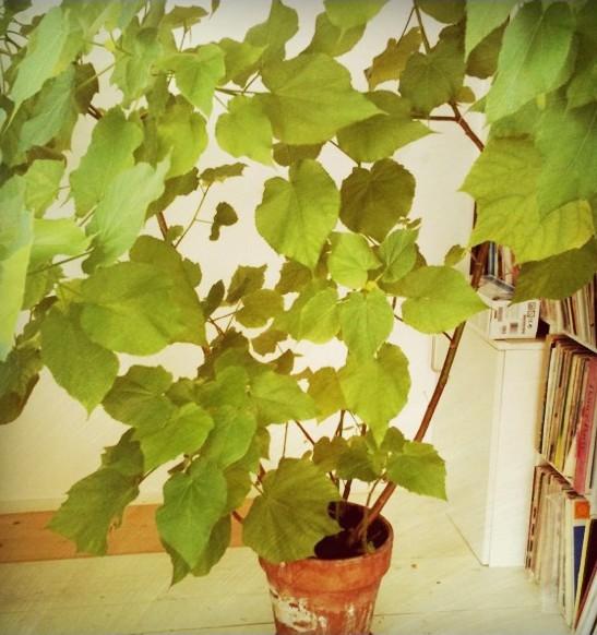 Zimmerlinde sparmannia africana pflege vermehrung majas pflanzenwelt - Zimmerlinde bilder ...