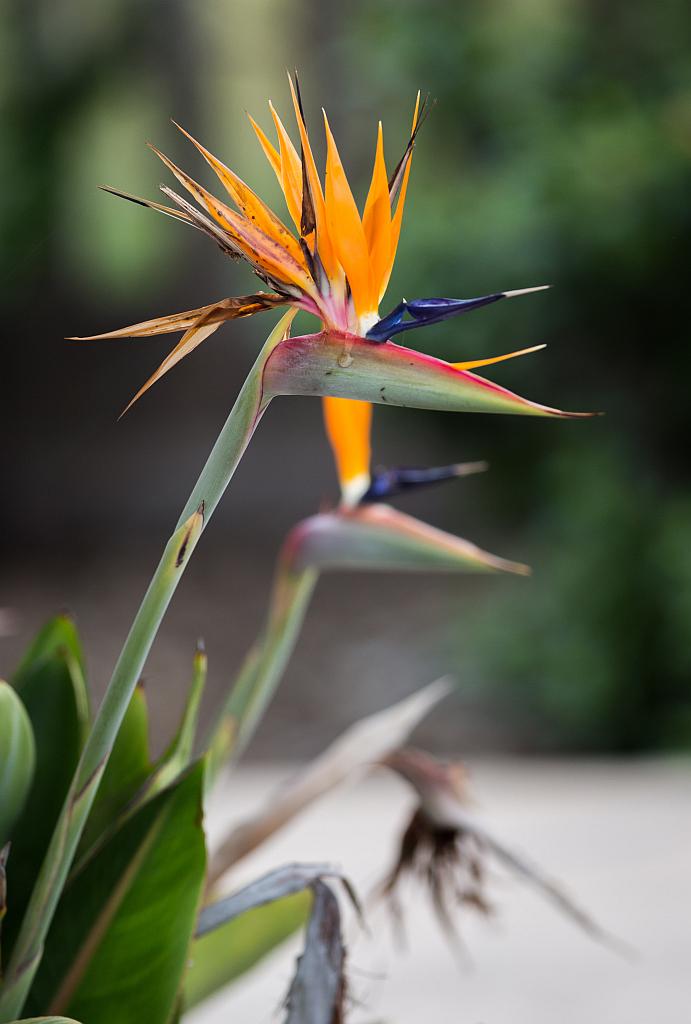 Berühmt Paradiesvogelblume, Strelitzie (Strelitzia reginae): Pflege @QO_43