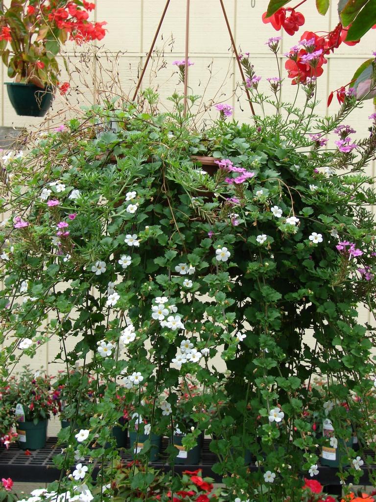 schneeflockenblume sutera diffusa pflege vermehrung majas pflanzenwelt. Black Bedroom Furniture Sets. Home Design Ideas