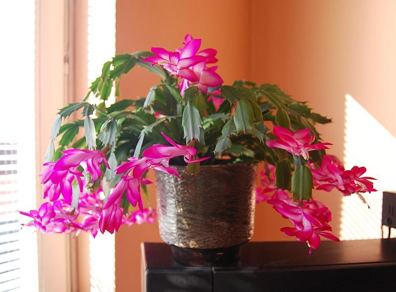 weihnachtskaktus schlumbergera pflege vermehrung majas pflanzenwelt. Black Bedroom Furniture Sets. Home Design Ideas