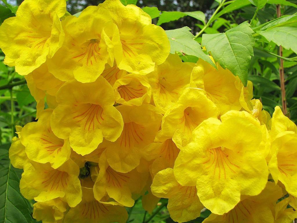 Beliebt Bevorzugt Gelbe Trompetenblume (Tecoma stans): Pflege & Vermehrung - Majas #KG_35