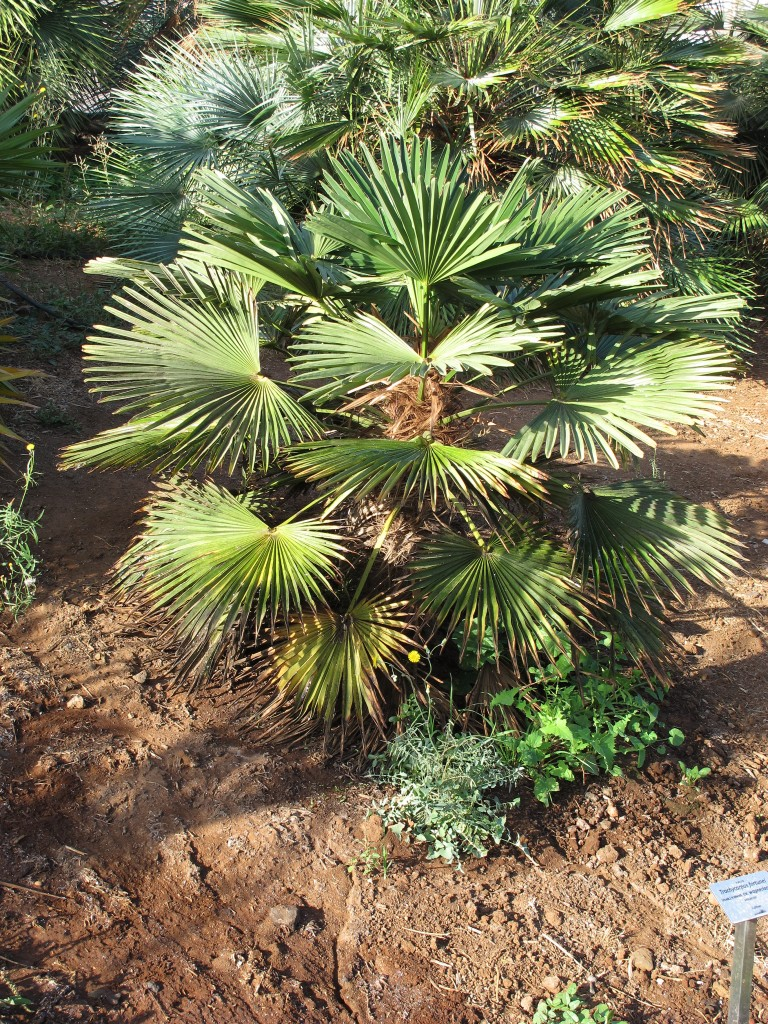 Hanfpalme Trachycarpus Fortunei Pflege Vermehrung Majas