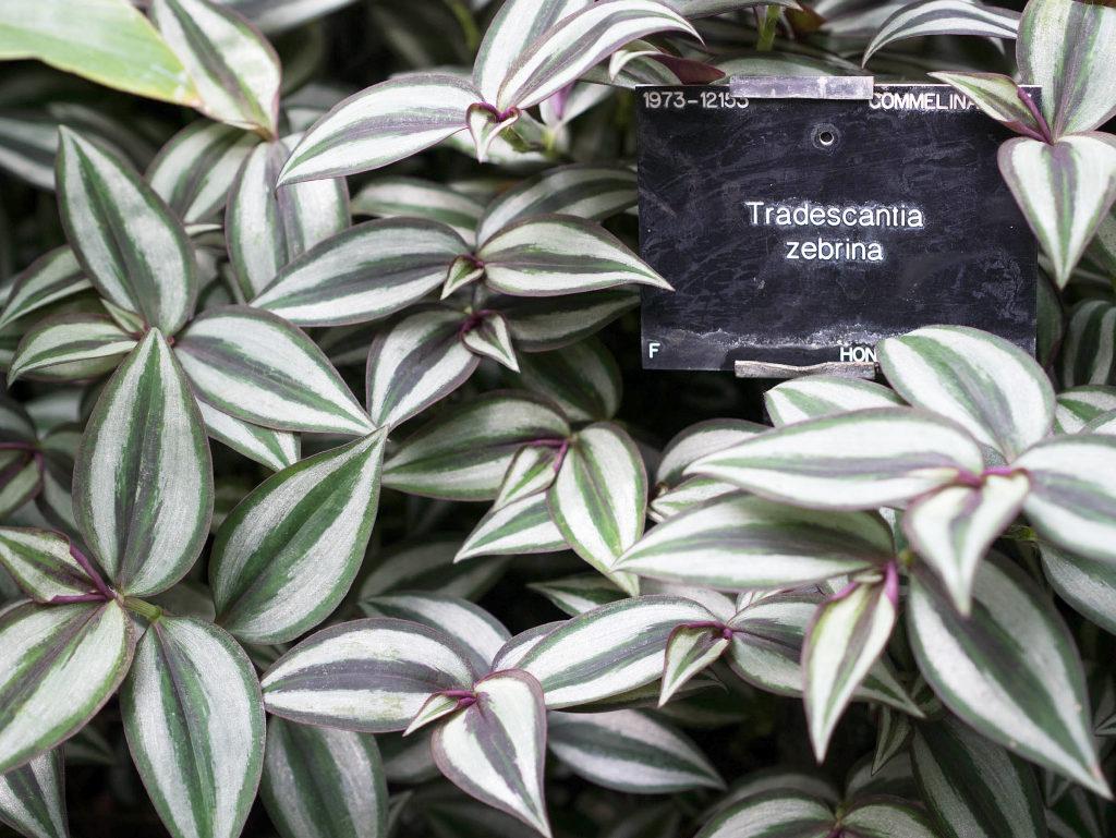 dreimasterblume (tradescantia): pflege & vermehrung - majas, Garten seite