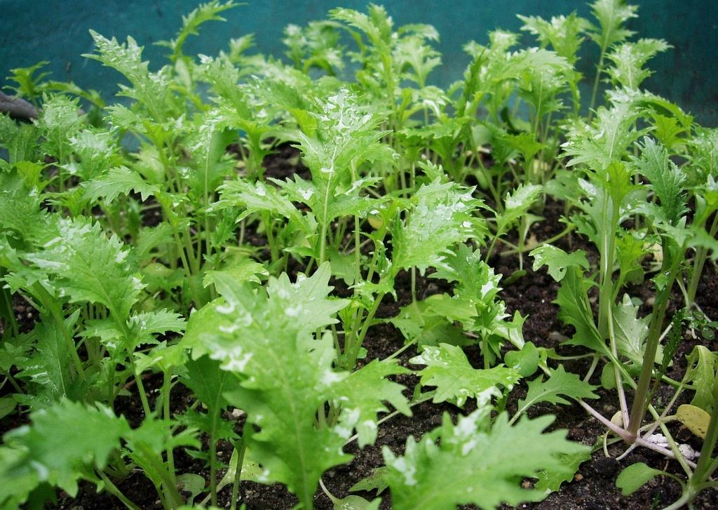 Asia-salate Anbauen » Aussaat & Pflege Im Garten - Majas Pflanzenwelt Chinakohl Pflanzen Tipps Garten Pflege