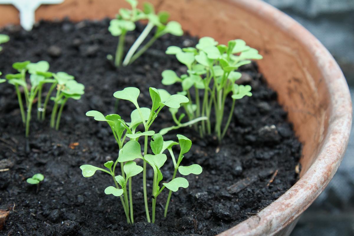 asia salate anbauen aussaat pflege im garten majas. Black Bedroom Furniture Sets. Home Design Ideas