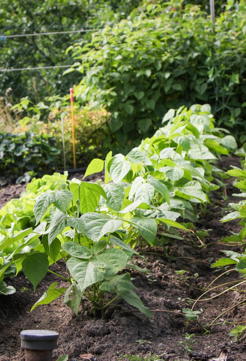 Atemberaubend Buschbohnen anbauen » Aussaat & Pflege im Garten - Majas Pflanzenwelt #QR_96