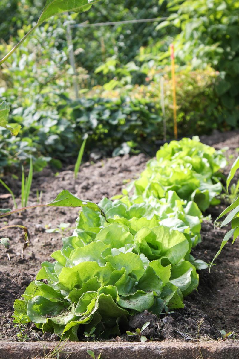 salate anbauen aussaat pflege im garten majas pflanzenwelt. Black Bedroom Furniture Sets. Home Design Ideas
