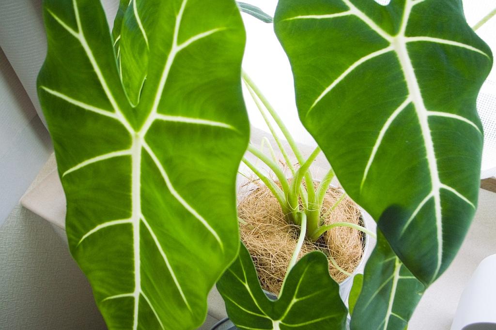 alokasie pfeilblatt alocasia pflege vermehrung majas pflanzenwelt. Black Bedroom Furniture Sets. Home Design Ideas