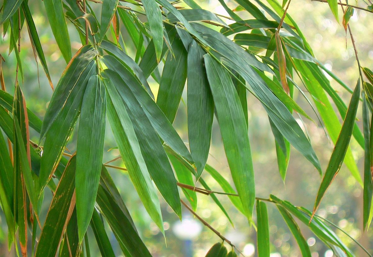 Bambus Bambusgras Bambusa Pflege Vermehrung Majas Pflanzenwelt