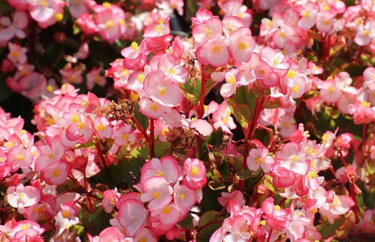 Eisbegonien (Begonia semperflorens Hybriden) » Pflege