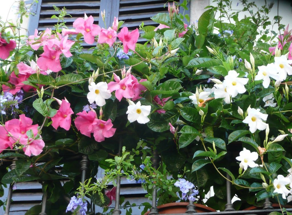 Mandevilla Dipladenia Pflege Vermehrung Majas Pflanzenwelt