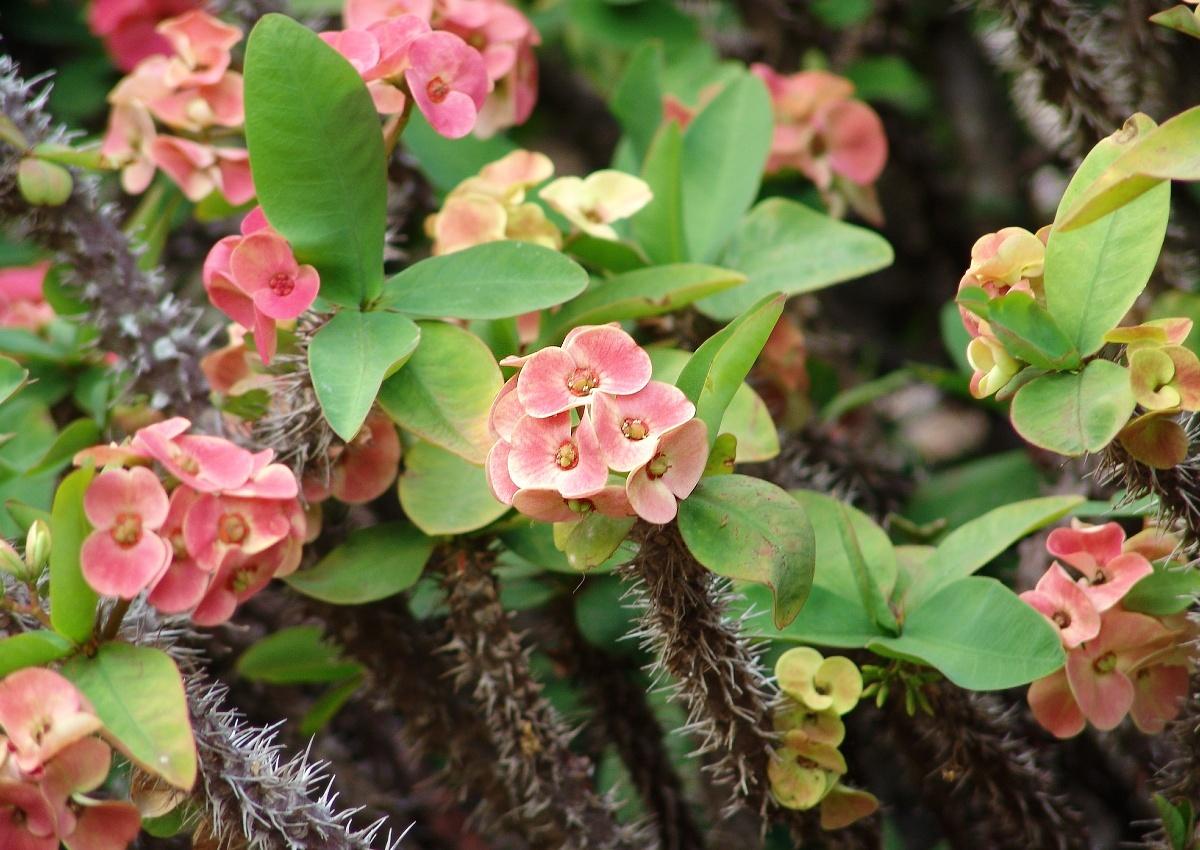 Atemberaubend Wolfsmilch (Euphorbia): Pflege & Vermehrung - Majas Pflanzenwelt &LN_93