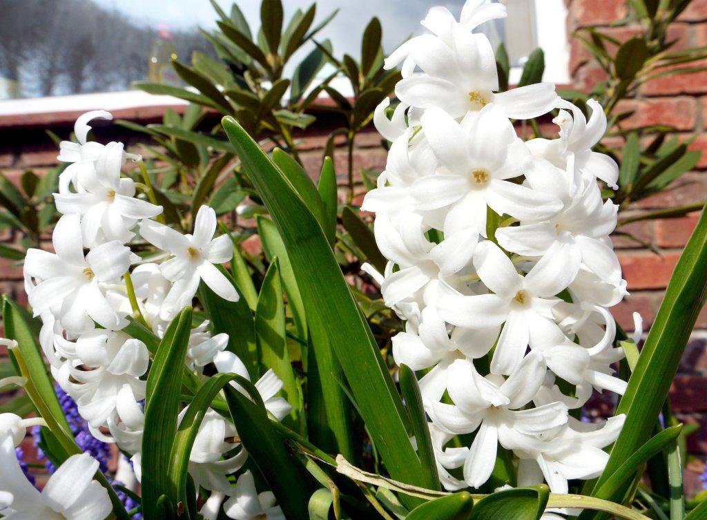 hyazinthe hyacinthus orientalis pflege vermehrung majas pflanzenwelt. Black Bedroom Furniture Sets. Home Design Ideas
