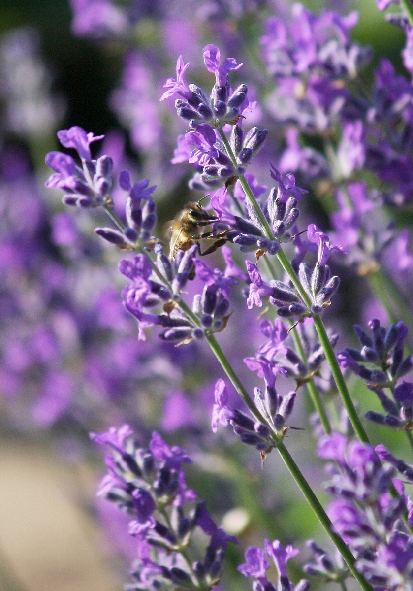 Lavendel Lavandula Pflege Vermehrung Majas Pflanzenwelt