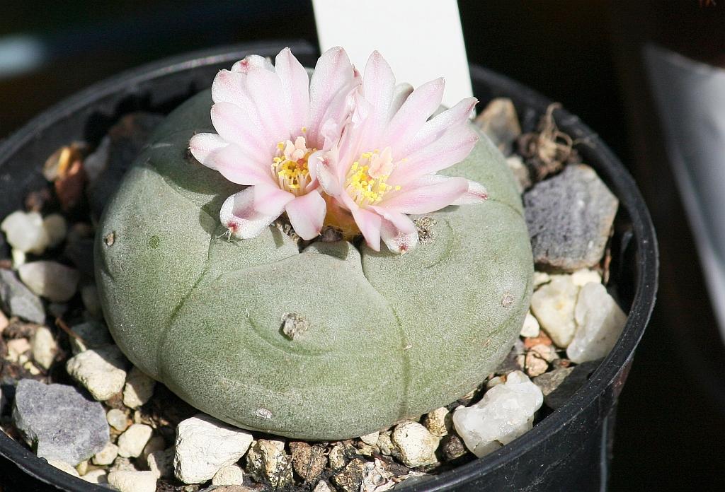 peyote kaktus lophophora williamsii pflege. Black Bedroom Furniture Sets. Home Design Ideas