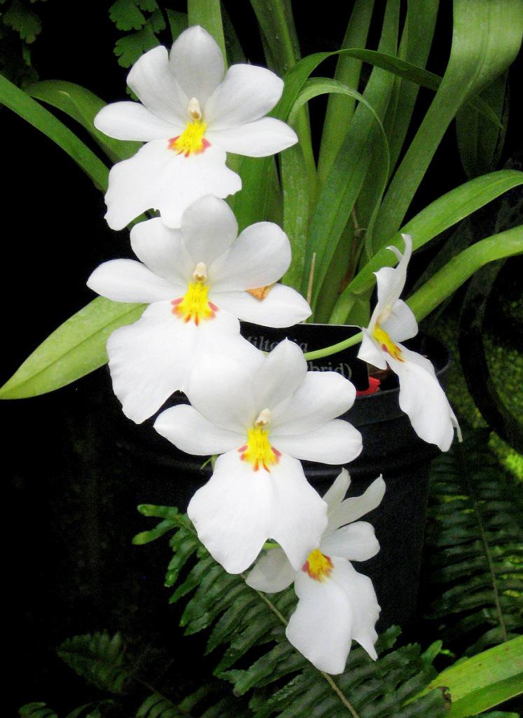 miltonia orchidee pflege vermehrung majas pflanzenwelt. Black Bedroom Furniture Sets. Home Design Ideas