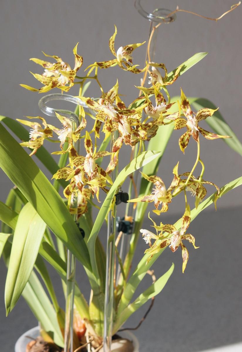 odontoglossum orchidee pflege vermehrung majas pflanzenwelt. Black Bedroom Furniture Sets. Home Design Ideas
