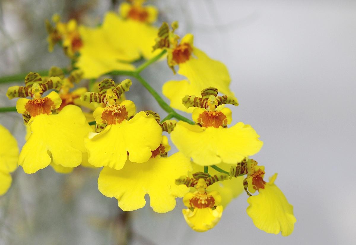 oncidium orchidee pflege vermehrung majas pflanzenwelt. Black Bedroom Furniture Sets. Home Design Ideas