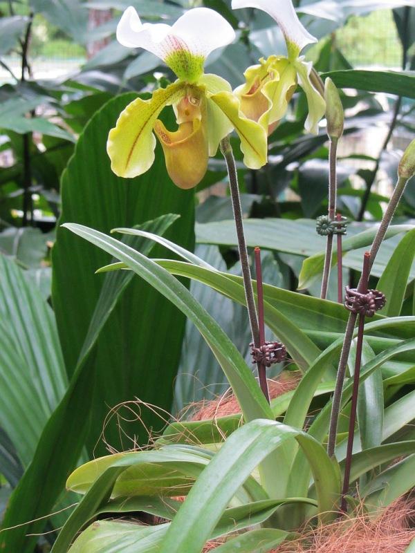Frauenschuh Paphiopedilum Pflege Vermehrung Majas Pflanzenwelt
