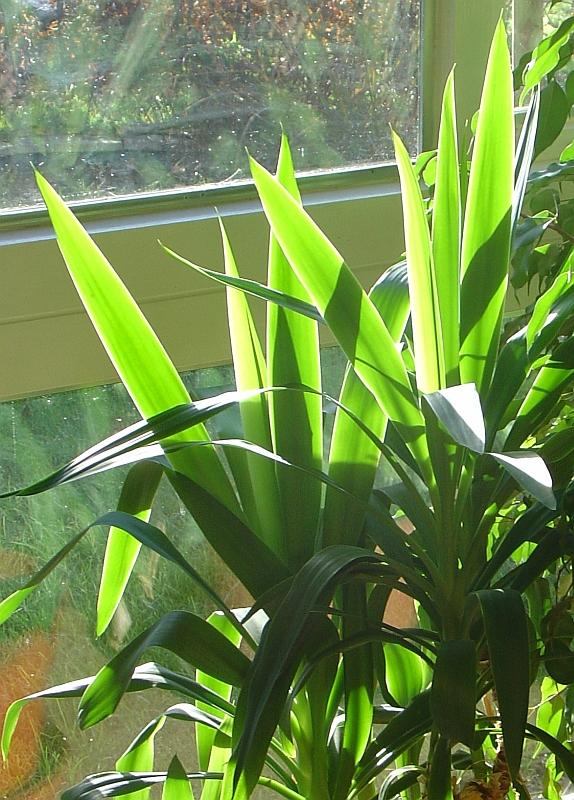 Yucca Palme Yucca Pflege Vermehrung Majas Pflanzenwelt