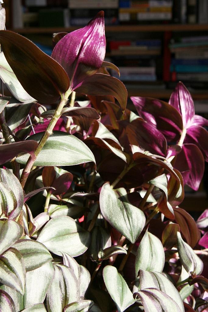 zebrakraut (tradescantia zebrina): pflege & vermehrung - majas, Gartenarbeit ideen