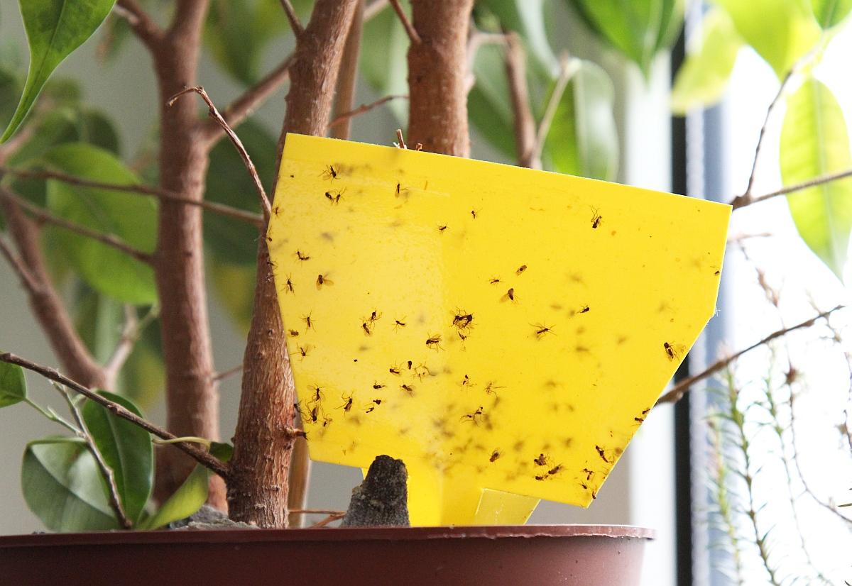Trauermücken Faq - Majas Pflanzenwelt Fliegen Blumenerde Bekaempfen Tipps